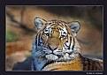 Picture Title - Amur Tiger (d2037)