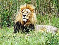 Picture Title - King of the jungle