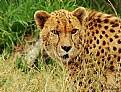 Picture Title - Cheeta