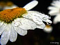 Picture Title - Daisy