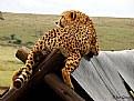 Picture Title - Cheeta resting