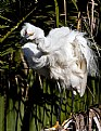 Picture Title - Snowy Egret Twisting