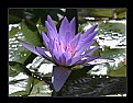 Picture Title - Pink Water Lily