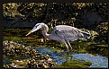 Picture Title - Great Blue