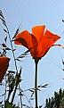 Picture Title - cali poppy