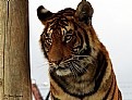 Picture Title - Tiger