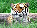 Picture Title - Tiger in water