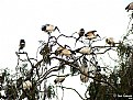 Picture Title - Sacred Ibis