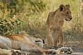 Picture Title - Lion Cub