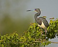 Picture Title - Tricolored Heron