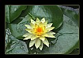 Picture Title - Blooming water lily