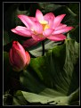 Picture Title - lotus