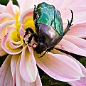 Picture Title - scarab
