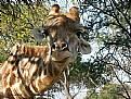 Picture Title - Giraffe greet