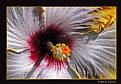 Picture Title - Hibiscus  (d2164)