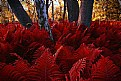 Picture Title - Where the Red Fern Grows