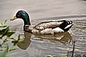 Picture Title - Duck in Water
