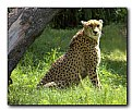 Picture Title - Cheetah
