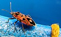Picture Title - Hemiptera on blue
