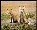 Picture Title - Fox Kits I