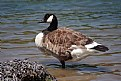 Picture Title - canadian goose