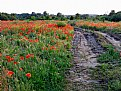 Picture Title - Poppyfield