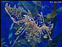 Picture Title - Leafy Sea Dragon