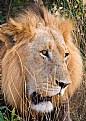 Picture Title - Kruger King