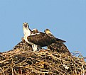 Picture Title - Osprey with young