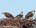 Picture Title - Osprey triplet fledglings