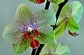 Picture Title - orchidea