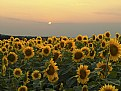 Picture Title - Sunflower Sunset