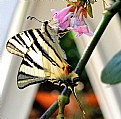 Picture Title - farfalla