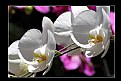 Picture Title - Colombian Orchids