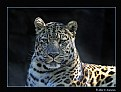 Picture Title - Amur Leopard (dsc1753)