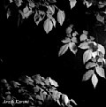 Picture Title - Leaves at night