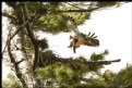 Picture Title - Red Squirrel attacking Hawk