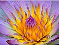 Picture Title - Water Lily # 2