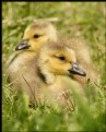 Picture Title - Goslings