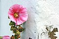 Picture Title - Hollyhock 1