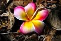 Picture Title - Frangipani