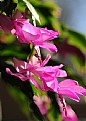 Picture Title - Christmas Cactus