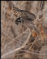 Picture Title - Hunting Hawk Owl