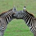 Picture Title - ***zebra's love***