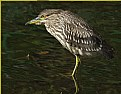Picture Title - Young Black Crowned Heron