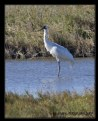 Picture Title - Whooping Crane