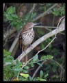 Picture Title - Brown Thrasher