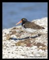 Picture Title - American Oystercatcher