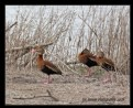 Picture Title - Black-bellied Whistling Ducks
