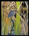 Picture Title - Green Heron